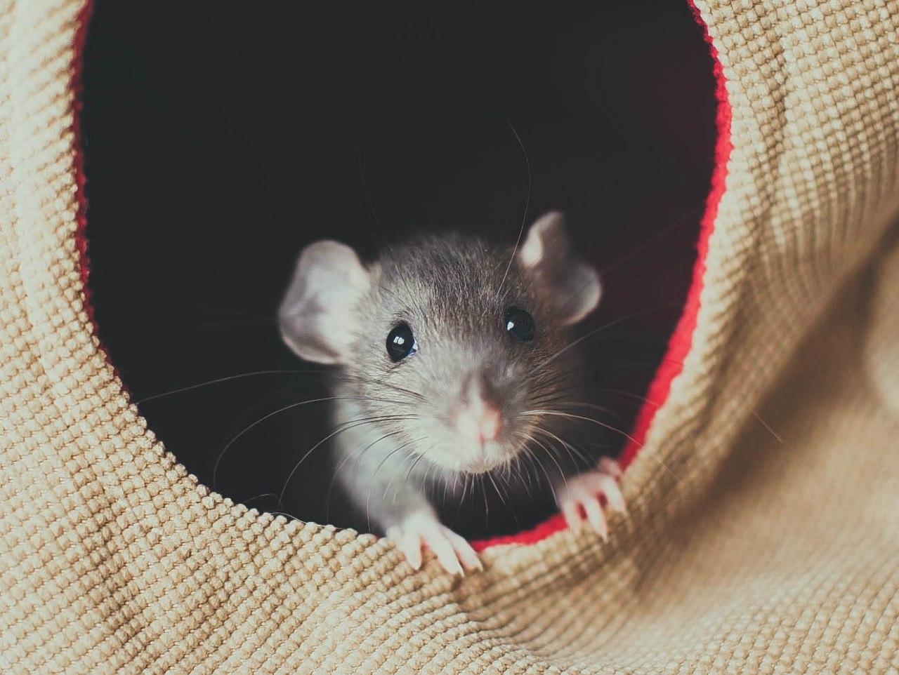 Как назвать крысу. Возможно эта статья поможет Вам найти имя для крысы.